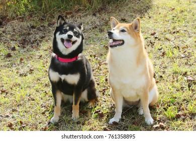 Japanese dog Shiba Inu
