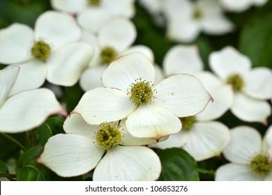 Japanese dogwood or Cornus kousa branch flowering in closeup.