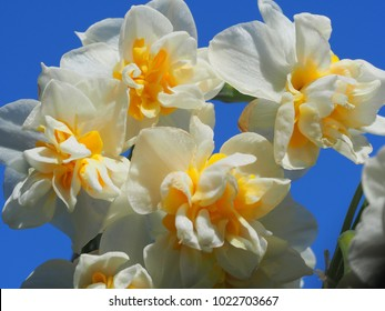 Japanese Double narcissus