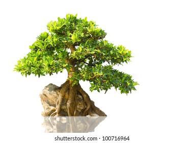 Japanese Evergreen Bonsai on Display white background