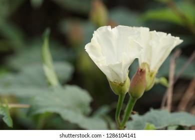 Japanese false bindweed or Calystegia hederacea, evergreen shrubs,