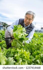 A Japanese farmer harvesting lettuce