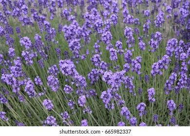 japanese field flower mountain in summer