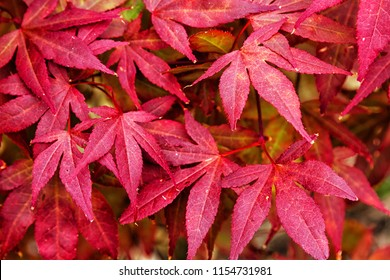 Japanese fire bush Acer palmatum maple tree. Orangeola