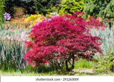 Japanese fire bush Acer palmatum maple tree. Orangeola