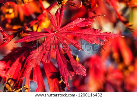 Japanese Fire Bush Acer Palmatum Maple Stock Photo Edit Now