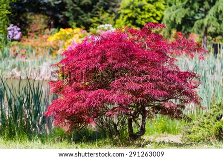 Japanese Fire Bush Acer Palmatum Maple Stockfoto Jetzt Bearbeiten
