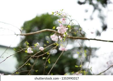 Japanese Flower at Kamakura