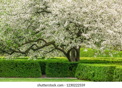Japanese flowering crabapple (binomial name: Malus floribunda) in bloom, like a white cloud, in a hedge garden, for themes of spring