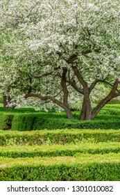 Japanese flowering crabapple (binomial name: Malus floribunda) with mass of white blooms by green garden hedges in spring