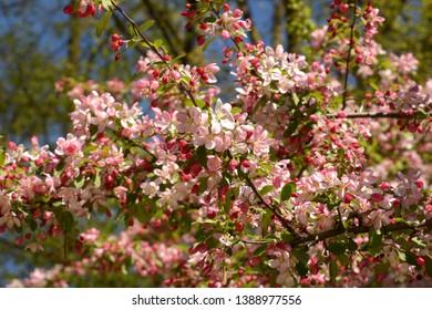 japanese flowering crabapple branches in bloom, malus floribunda or japenese crab or purple chokeberry in spring