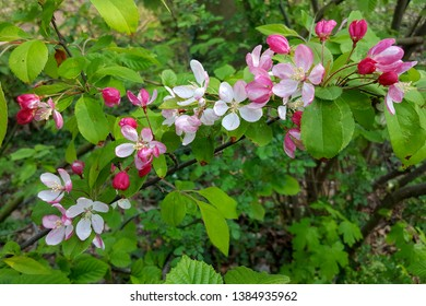 Japanese flowering crabapple (Malus floribunda); flowers and buds