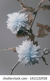 Japanese flowers, branch on a gray background, studio shoot.
