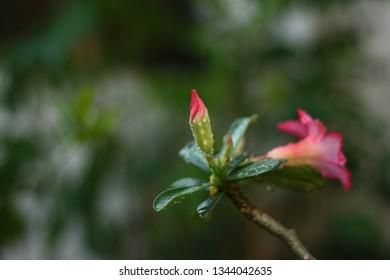 Japanese frangipani (adenium) red ornamental plants, referred to as adenium because one of Adenium's places of origin is the Aden area (Capital of Yemen). Indonesian call adenium as Japanese frangipan