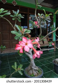 Japanese frangipani or adenium is a species of ornamental plant, the stem is large, the bottom resembles a tuber, the stem is not cambium, the roots can enlarge to resemble a tuber