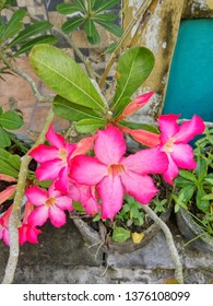 Japanese frangipani red ornamental plants (adenium), are called adenium because one of the places of origin for Adenium is Aden (the capital of Yemen). - image