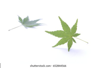 Japanese fresh green maple leaf isolated
