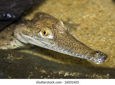 japanese freshwater crocodile