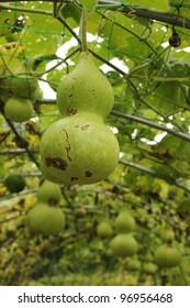 Japanese fruit