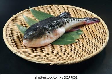 Japanese Fugu Fish (Puffer Fish)