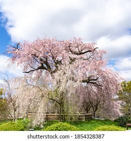 Japanese garden with big beautiful cherry blossom tree