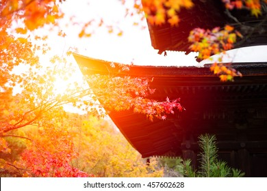 Japanese garden in Temple, Beautiful Red Maple Leaf in Japan Autumn for background.