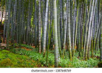 Japanese giant bamboo growing dense in the forest garden in Japan