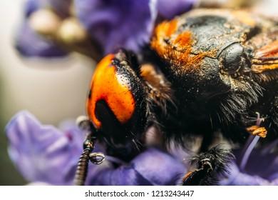Japanese Giant Hornet (Vespa Mandarinia Japonica) Gathering Flower Pollen