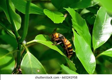 "Japanese giant hornet - Vespa mandarinia japonica. It is called ""Osuzumebachi"" in Japan."
