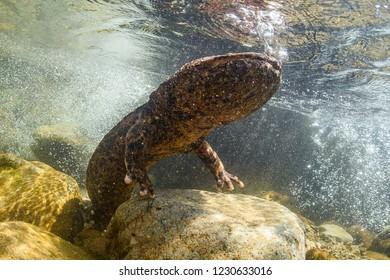Japanese Giant Salamander in Mountain River of Gifu, Japan
