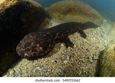 Japanese Giant Salamander Posing Underwater in a River of Gifu, Japan