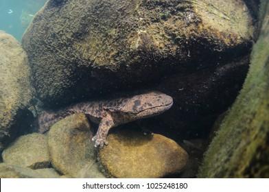 Japanese Giant Salamanders Lurking in Japanese River