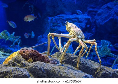 Japanese Giant Spider Crab Attack