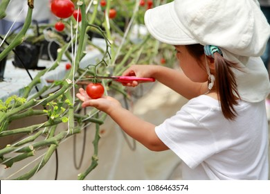 Japanese girl picking cherry tomato (3 years old)