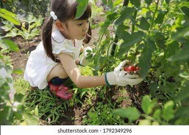 Japanese girl picking tomato (5 years old)