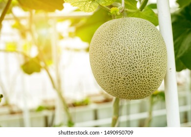 Japanese green cantaloupe, Fresh melons or green melons or cantaloupe melons plants growing in greenhouse supported by string melon nets.