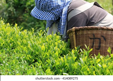 Japanese Green tea hand picking