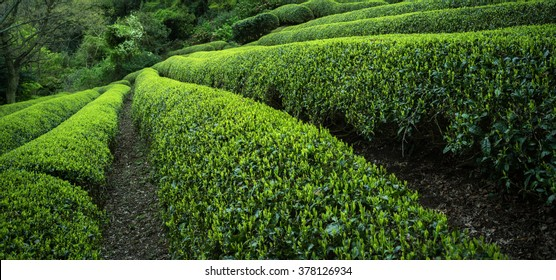 Japanese green tea plants close-up