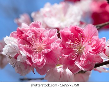 "Japanese ""Hanamomo"" flower. A kind of peach that enjoys flowers instead of fruits."