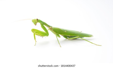 Japanese Harabiro mantis on a white background