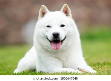 japanese hokkaido dog smiling with tongue
