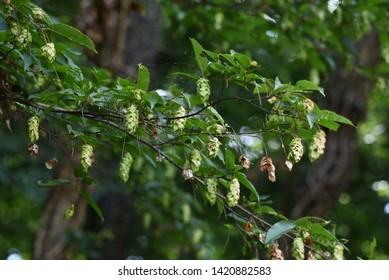 Japanese hornbeam (Carpinus japonica) fruits