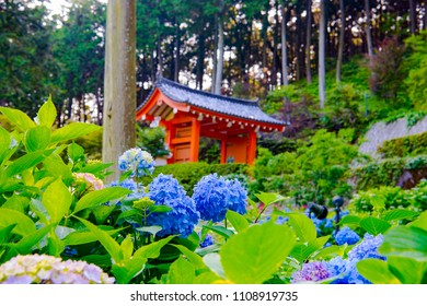 Japanese hydrangea blossoms in the garden of Mimuroto-ji temple