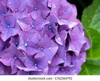 Japanese hydrangea flower. Hydrangea is one of the representative flowers in early summer in Japan.