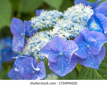 Japanese hydrangea. Hydrangea is one of the representative flowers in early summer in Japan.
