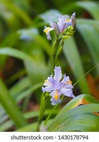 Japanese iris flower in light blue yellow with blurred green garden background, soft focus