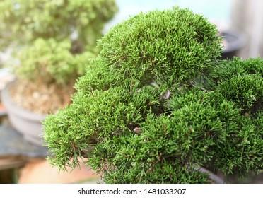 Juniper Bonsai Images, Stock Photos & Vectors | Shutterstock