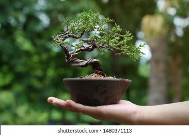 Japanese Juniper Bonsai Tree on Hand, Background in the garden.