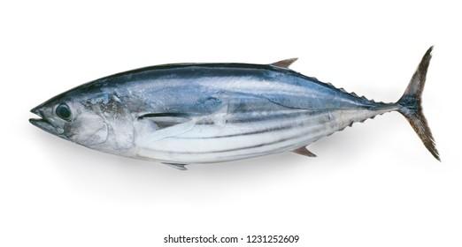 Japanese Katsuo fish (bonito, skipjack tuna)