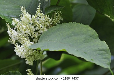 Japanese Knotweed Flowers - Persicaria japonica